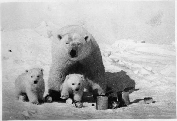 Niedźwiedzie polarne z Czukotki