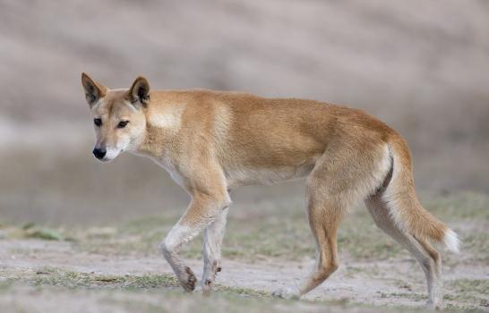 dingo dog australia