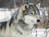 Psy i wilki rozdzieliły się 33 tys. lattemu