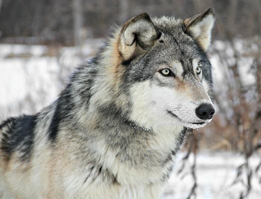 wilk-szary