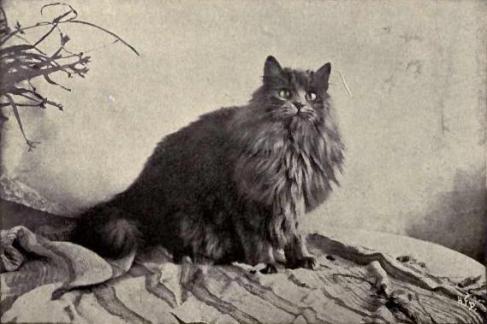 Kot perski 1899
