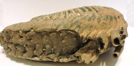 ząb mamuta muzeum wodzislaw slaski