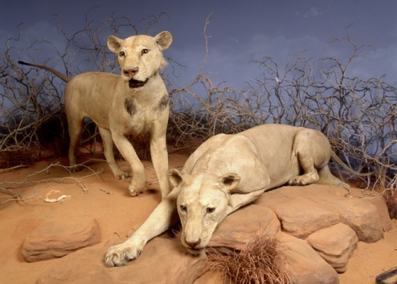 lions-tsavo-chicago