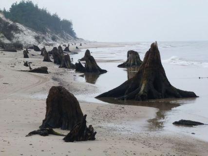 Pnie drzew na plaży