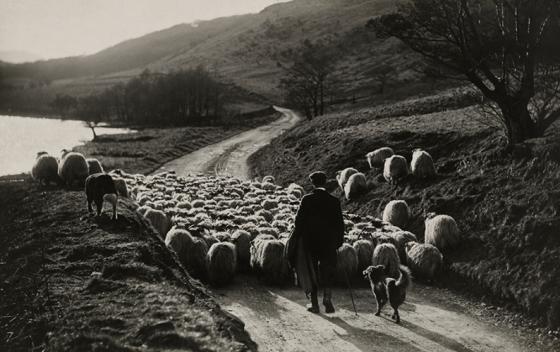 1919-Szkocja-pasterz-owce