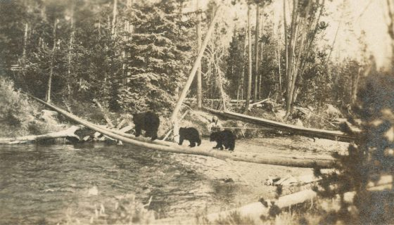 niedzwiedzie 1930