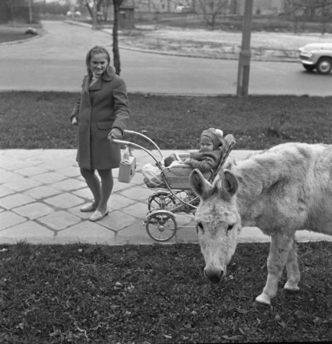 1969-warszawa-osiolek-na-trawniku