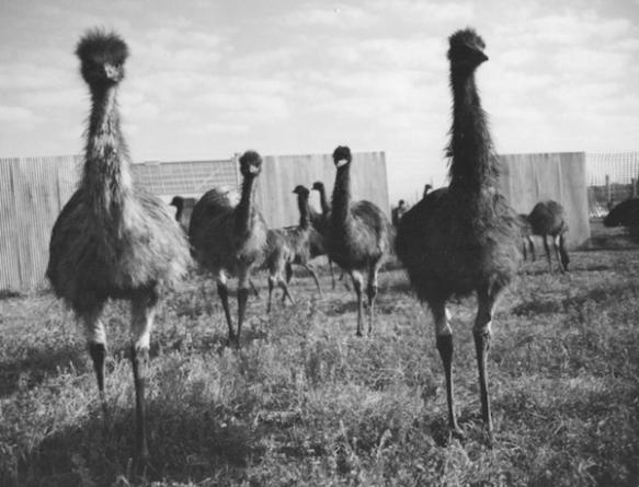 ptaki-emu-australia