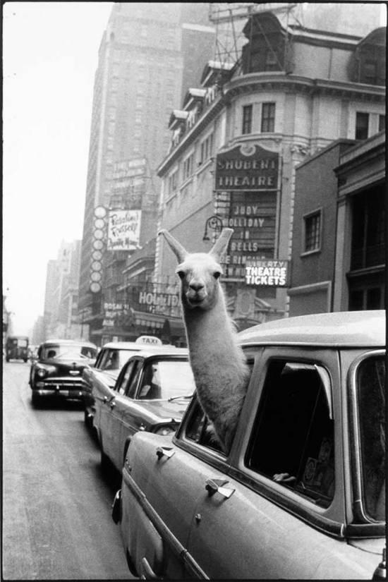 lama-w-nowym-jorku-1957