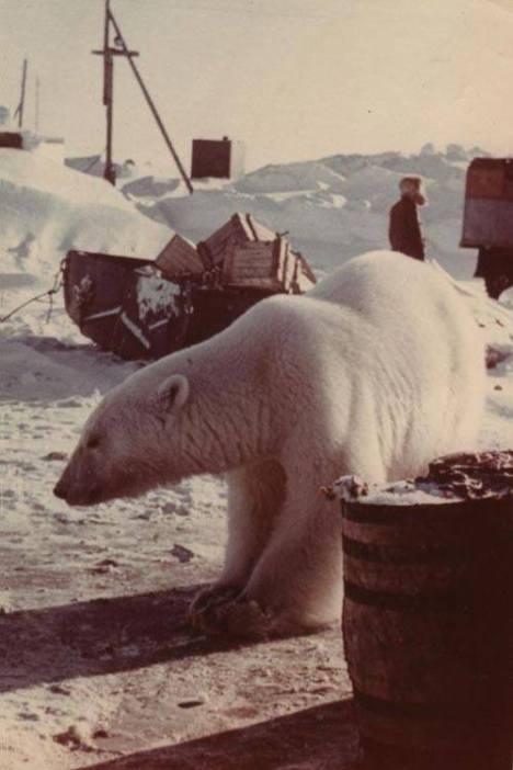 czukota-lata-60-niedzwiedz-polarny