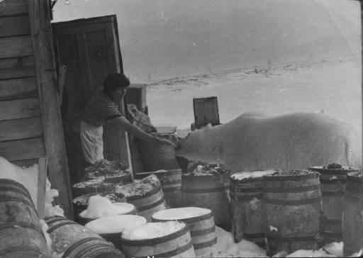 czukotka-lata-60-niedzwiedz-polarny-karmiony-rybami
